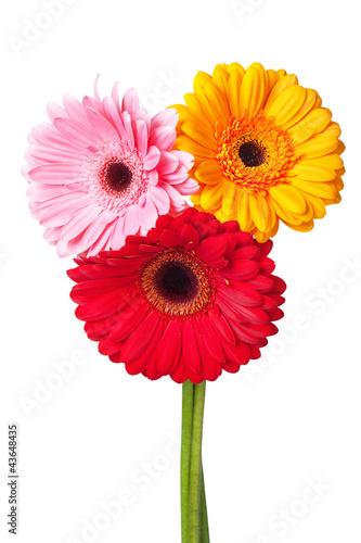 Aluminium Prints Gerbera Flowers gerbera