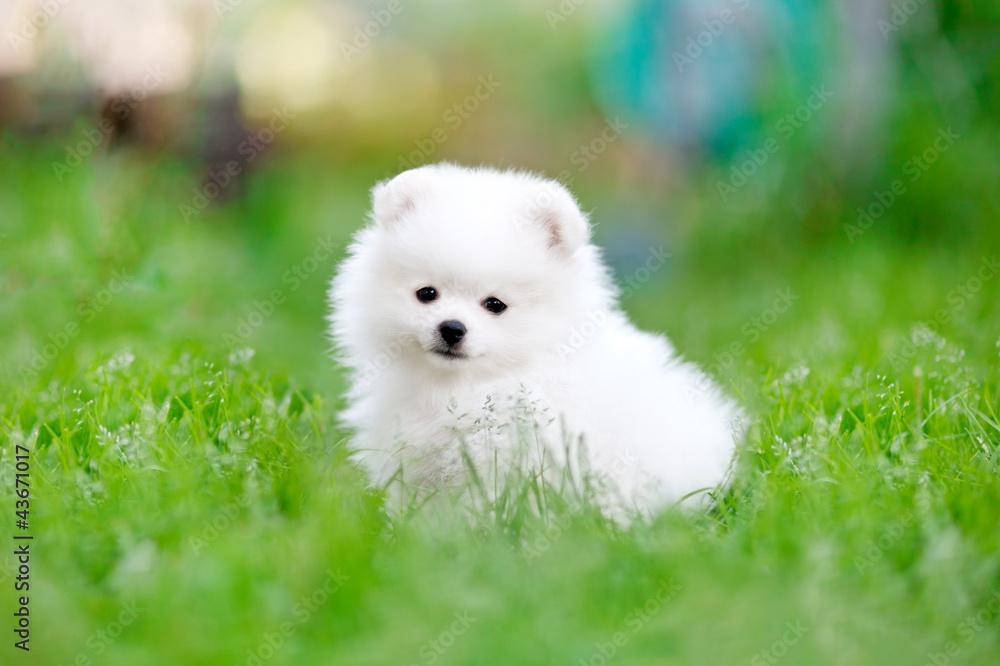 Fototapety, obrazy: White pomeranian spitz puppy sitting in the grass