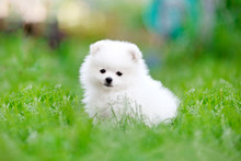 White Pomeranian Spitz Puppy Sitting In The Grass