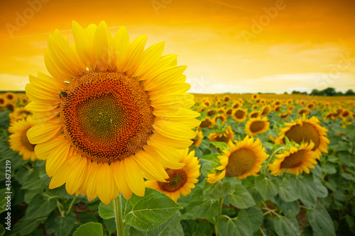 Deurstickers Zonnebloem Sunflower field