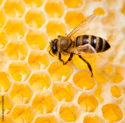Photo  bee macro shot collecting honey in honeycomb