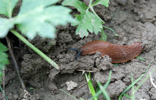 European red slug