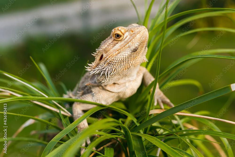 A Bearded Dragon Lizard On The Palm Tree Foto Poster Wandbilder