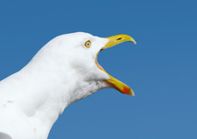 Angry Squawking Seagull With B...