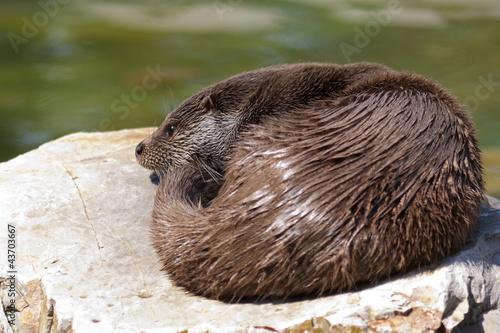 wydra - fototapety na wymiar
