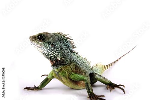 Photographie  Leguan