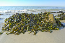 Seaweed On A Beach And Sea