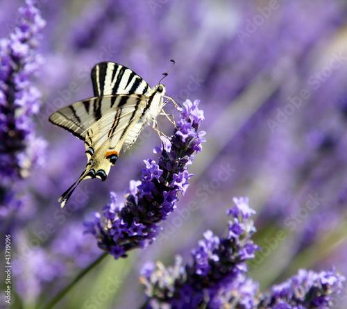 Mariposa en lavanda (Iphyclides podalirius)