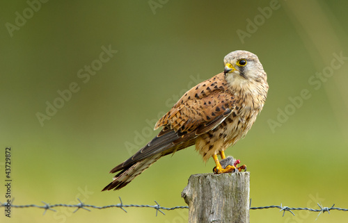 Young common Kestrel and a mouse Poster