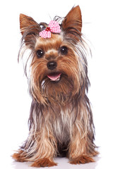 yorkshire terrier puppy dog sitting and panting