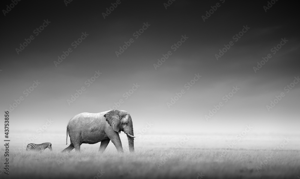 Fototapety, obrazy: Elephant with zebra (Artistic processing)