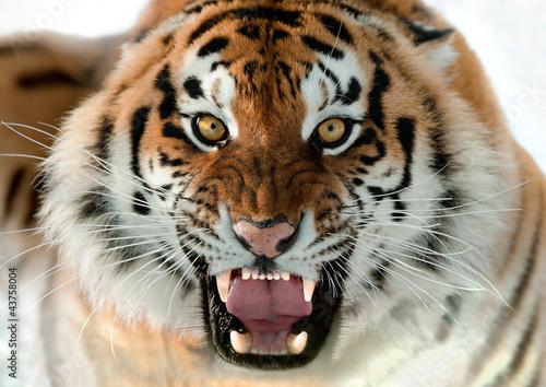 In de dag Tijger Siberian Tiger Growling
