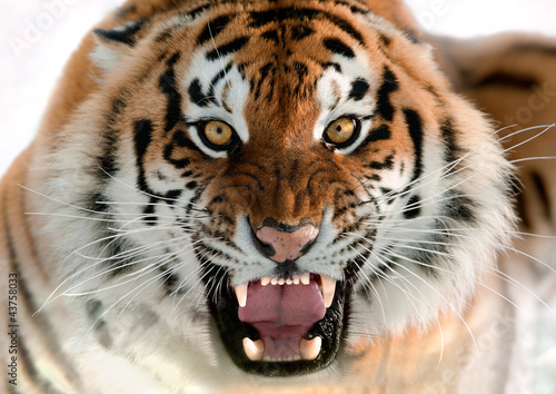 Photo sur Toile Tigre Siberian Tiger Growling