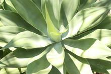 Agave Succulent Cactus