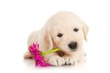 Fototapeta Dogs - Golden Retriever Puppy with Flower