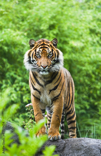 Photo Asian- or Bengal tiger with bamboo bushes background