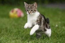 Tigerkatze Springt