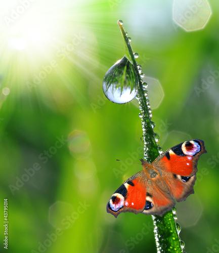 Fotografie, Obraz  fresh morning dew and butterfly