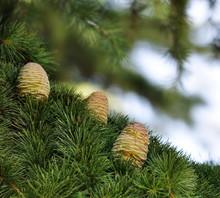 Three Himalayan Cedar Cones On A Branch