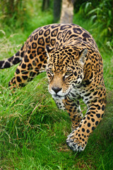 FototapetaStunning jaguar Panthera Onca prowling through long grass
