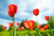 Beautiful tulips against dramatic sky