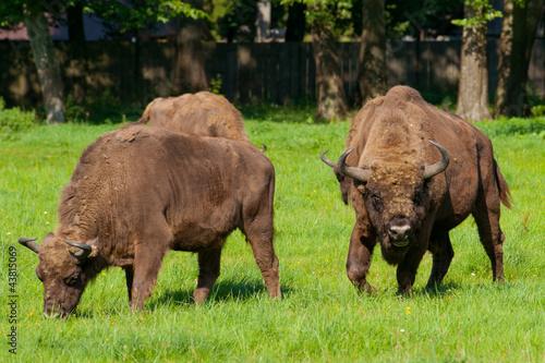 Fényképezés  Polish bisons