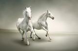 Białe konie na szarym tle