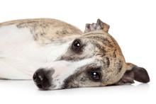 Whippet Dog Resting On A White...