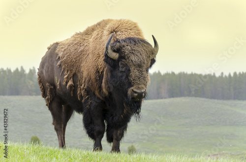 Spoed Foto op Canvas Bison bisonte nello Yellowstone National Park in Wyoming