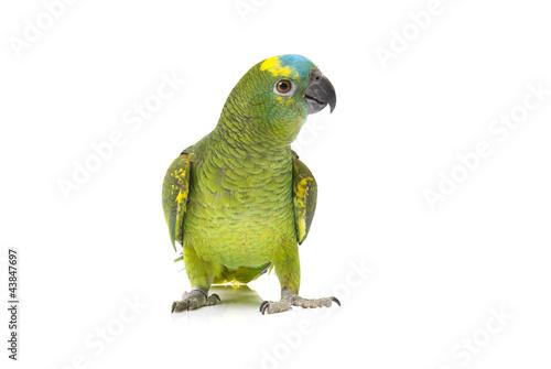 Cuadros en Lienzo Blue fronted Amazon parrot on white background