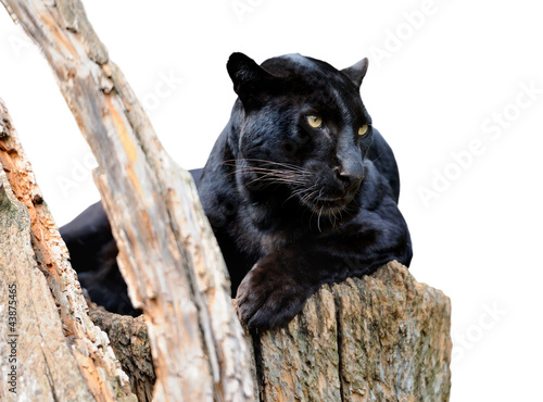 Poster Panther Black leopard isolated on white background