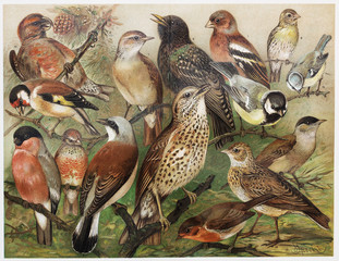 FototapetaVintage drawing of European cage birds from late 1800's