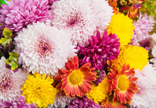 Colorful Chrysanthemum And Dai...