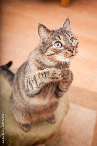 Photo  Funny european cat asking for food