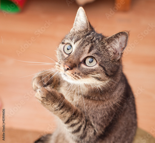 Photo  Young european cat asking for food