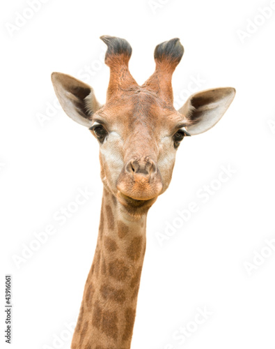 Foto op Canvas Giraffe Isolated Giraffe