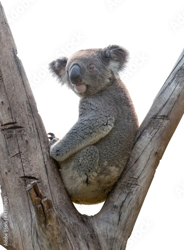 Papiers peints Koala isolated koala