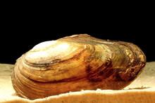 Swan Mussel (Anodonta Cygnea) ...