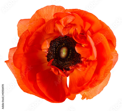 In de dag Poppy beautiful red single flower head
