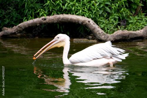 Fotografie, Obraz  pelican