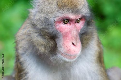Fotografie, Obraz  portrait of a macaque