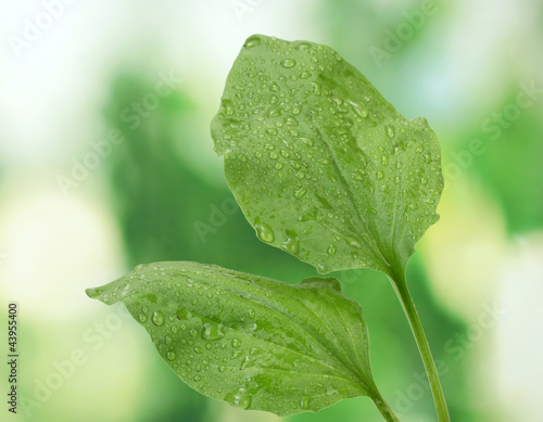 Fotografia, Obraz  plantain leaves with drops on green background