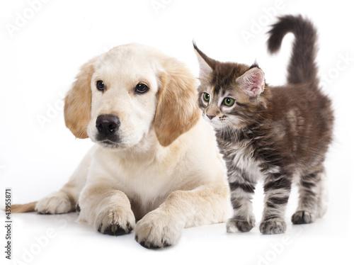 szczeniak-labradora-i-maly-ciemny-kot-na-bialym-tle-zwierzeca-przyjazn