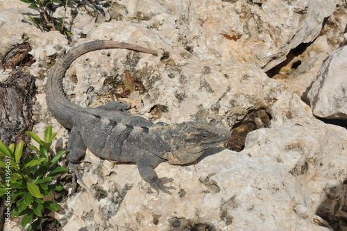 Papiers peints Hyène Iguana in Cancun Mexico