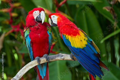 In de dag Papegaai Couple of Green-Winged and Scarlet macaws in nature surrounding