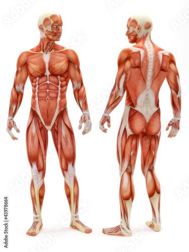 Fotografie, Obraz  Male musculoskeletal system