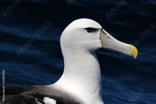 Fényképezés  Portrait of a Shy Albatross (Diomedea epomophora).