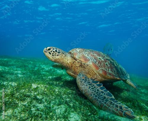 Foto op Aluminium Schildpad enormous sea turtle in gulf