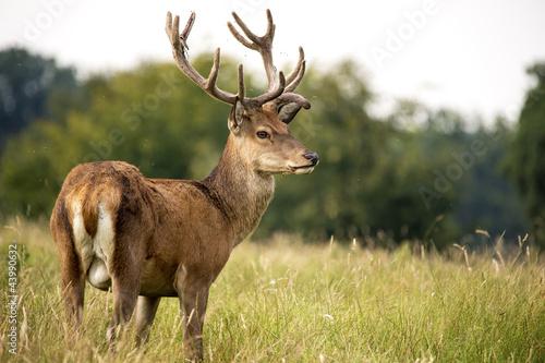 Papiers peints Cerf Red Deer