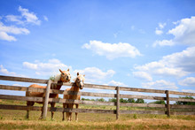 Two Horses On Fence
